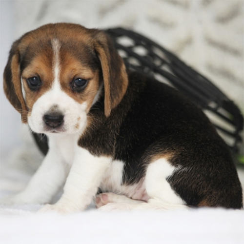 Adopt a dog:Raspberry/Beagle/Female/4 Weeks,Let me introduce you Raspberry, a bubbly Beagle puppy that loves to be near you. This lovely little lady has been family raised with children and can be registered with the UABR. Chad is vet checked, up to date on vaccinations and comes with a health guarantee provided by the breeder. If you are interested in welcoming this playful pup into your family, contact the breeder today!