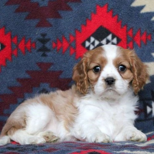 Roger/Cavalier King Charles Spaniel/Male/9 Weeks,Meet Roger, a sweet and friendly Cavalier puppy who is being family raised with children. Roger can be registered with the ACA. This spunky pup is vet checked, up to date on shots and wormer plus the breeder provides a health guarantee for Roger. To learn more about him, call the breeder today!