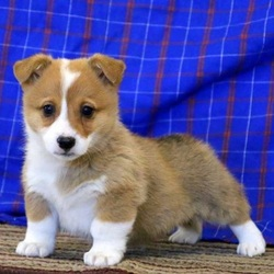 Ricky/Pembroke Welsh Corgi/Male/10 Weeks