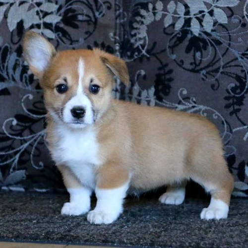 Karla/Pembroke Welsh Corgi/Female/13 Weeks,Everyone meet Karla! A sweet and adorable Pembroke Welsh Corgi puppy seeking her forever home! This cuddly gal is up to date on all shots, dewormer and has been vet checked. Karla is well socialized and cherished dearly. She also comes with a 1 year genetic health guarantee provided by the breeder. If interested, please contact Sarah today!