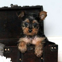 Micah/Yorkshire Terrier/Male/12 Weeks