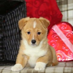 Teagan/Pembroke Welsh Corgi/Female/14 Weeks