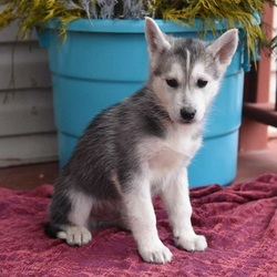 Brad/Siberian / Husky Mix/Male/Puppy