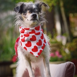 Adopt a dog:Marvin/ Rat Terrier / Chihuahua Mix/Male/Adult,