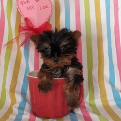 Jasper/Yorkshire Terrier/Male/11 Weeks