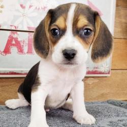 Rocko/Beagle/Male/12 Weeks