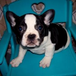 Lil Oreo/French Bulldog/Male/17 Weeks