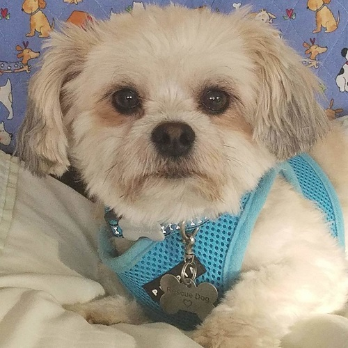 Adopt a dog:Cooper Turner/ Shih Tzu / Yorkshire Terrier Mix/Male/Young,1. About CooperCooper is a happy-go-lucky, two-year-old Shorkie. He keeps himself busy playing with toys and other small dogs during the day. He likes his space and will often start the night in his own bed before joining his foster family in bed. He is still puppy-like and will need firm, but gentle and loving, guidance.2. Cooper's temperament and energy level- loving and a snuggle bug. Can be shy around strangers initially;- sweet-natured, but does not like rough handling;- good with other dogs. Loves to play with small dogs of his size;- moderately energetic. Enjoys spending time outside in the yard and loves walks;- mostly house trained;- enjoys car rides.3. VettingFully vetted and neutered; UTD on core shots and bordetella; comprehensive bloodwork; fecal test; 4Dx test; dental cleaning; and microchipped.