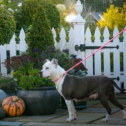 Adopt a dog:Clementine/ Terrier / Staffordshire Bull Terrier Mix/Female/Adult,