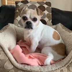 Adopt a dog:BOOTS/ Chihuahua Mix/Male/Senior,