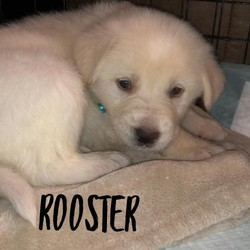 Adopt a dog:Rooster/Border Collie Mix/Male/Puppy,Border Collie Mix puppies born 1/25/20:Siblings: Whinchester(F); Males-Ox, Little Joe, Little Bear, Wrangler, RoosterIf you are interested in meeting the puppies, please complete an online application at https://hopeanimalrescueofiowa.duplie.com/forms/196/dog-applicationAdoption fee is $300 which includes spay/neuter, microchip, and age appropriate vaccines.