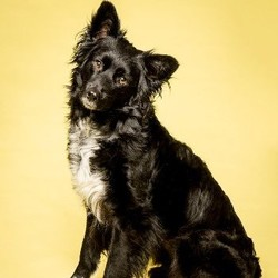 Willow/Border Collie Mix/Female/Young
