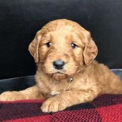 Dasher/Goldendoodle/Male/19 Weeks