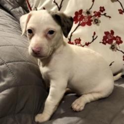 Sugar/Jack Russell Terrier/Female/8 Weeks