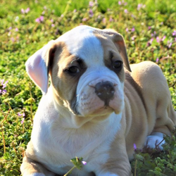 Miss Shelby/American Bulldog/Female/6 Weeks,Hi Meet Shelby! This beautiful girl is looking for the perfect family to join all the springtime and summer fun with. Shelby is 98% Johnson Type American Bulldog both of her parents have nice blocky bulldog heads. She is the second biggest puppy in the litter and she was #1 out 4 that were born. Shelby is on the calmer side of personality and will be perfect for the relaxed family . She is being raised in a family environment with four kids that will give her plenty of attention and love. She is also being raised around other animals so she will be ready to fit into any family environment. We pride ourselves in the way we raise our puppies they never see the sight of a pet store or broker. THEY GO STRAIGHT FROM OUR HANDS TO YOUR'S!!! Shelby will also come with a one year health guarantee and she will be current on all of her vaccinations. We also offer ground shipping to many locations and Pet Nanny Services to most Intl Airports. Please ask us for details and utilize these wonderful options! So if you have been looking for the perfect AB Puppy to spend Spring, Summer and the rest of your life with Shelby is the perfect choice.... For more information on making her part of your family please call or text 636-209-2593