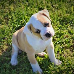 Miss Shelby/American Bulldog/Female/6 Weeks