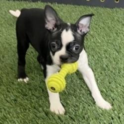 Bishop/Boston Terrier/Male/13 Weeks