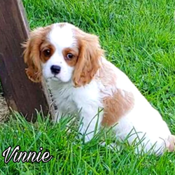Akc Vinnie/Cavalier King Charles Spaniel/Male/8 Weeks,All our Cavalier King Charles puppies are raised with quality care from day one to insure a happy, confident and well-balanced temperament. They are around children, cats and larger dogs, so they can acclimate well into any kind of household. These puppies will even start their formal house training before going to their new forever homes! Our adult Cavalier King Charles Spaniels are health tested regularly with Board Certified Specialists and come from world famous European and US bloodlines. Our family is breeding and raising dogs since over 38 years and in 3rd generation! We are a AKC Bred With Heart Breeder! Each of our puppies will come VACCINATED DEWORMED MICROCHIPPED HEALTH CERTIFICATE WELCOME PACKAGE LIFETIME SUPPORT HEALTH GUARANTEE PAPERS SHIPPING AND FINANCING AVAILABLE! If you are interested in one of our amazing puppies, please text or call (786) 589-1338 or visit our website www.worldclasscavaliers.com