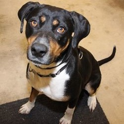 Female Greater Swiss Mountain Dog is available for adoption