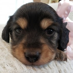 Moana/Dachshund/Female/4 Weeks,Wow! Moana is simply precious! You just can't go wrong choosing her. Moana has been raised in a loving environment, so she's already been pre-spoiled. This cutie comes up to date on vaccinations and vet checked to help make her transition from our home to yours an easy one. What more could you ask for? Whether playing all day or lounging on the couch with you, Moana will surely make your family complete!