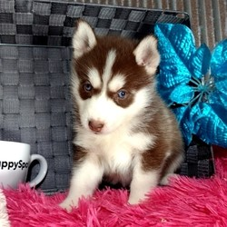 Kaitlyn/Siberian Husky/Female/