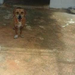 Adopt a dog:Diggity/Dachshund/Male/Adult,