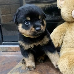 """Romeo/Rottweiler/Male/,""""Hi, my name is Romeo. I am looking for someone to play with. I love to play fetch; it's my favorite game. When I get tired, I will come and curl up next to you so we can go to sleep. I love to go to parks and meet new people and animals. I am very affectionate and love to give kisses. I promise if you take me home I will brighten your days and will always love you unconditionally. I will come home to you up to date on my vaccinations and vet checked. I am excited to meet you and become your new best friend!"""""""