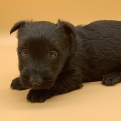 """Trey/Scottish Terrier/Male/,""""My name is Trey! What's yours? I'm really excited to meet my new fur-ever family. The nice people here have been telling me about how much fun I'll have when I get to my new home and I'm just thrilled. I am ready to play all kinds of games, explore your home, and just be an all-around great companion to you! I am ready to share my hugs and puppy kisses with you. I have plenty to give out, trust me! I really hope you are my new family because I'm ready to meet you! I hope to see you real soon!"""""""