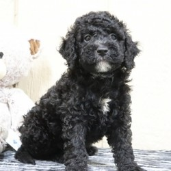 "Flame/Bernedoodle/Male/,""I bet that you've never seen a puppy like me! I'm just that cute! My name is Flame and playing is my game. I can't wait to meet my new family. We are going to have so much fun together. We're going to go for nice walks, play lots of games, and when we're done we'll curl up next to each other. Do you think you could be the family for me? I hope so! Oh, and did I mention that I give world-famous puppy kisses? Don't miss out on them!"""