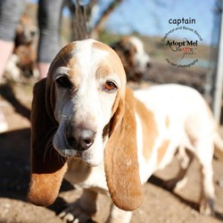 Adopt a dog:Captain Morgan/Basset Hound/Male/Senior,Captain Morgan has some abuse in his past.  He startle snaps at the collar line. He needs a home well versed at special needs. Please visit our website at www.Daphneyland.com and fill out an adoption application.