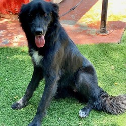 Adopt a dog:JASPER/Flat-Coated Retriever/Male/Young,This 1 yr old handsome man is Jasper!  He is a beautiful flat coated retriever mix (possible collie) with TONS of energy.  He loves loves loves to run around and play and would do best in an active home.  Once he gets his energy out, he is the sweetest boy.  He is 50 lbs full grown and will be the most amazing fitness partner.  He loves to be outdoors and would do great on runs, hikes, beaches, dog parks, camping, etc. He is a total boy and loves to play.  Jasper needs some basic training as he is a jumper- for this reason, we suggest no kids under the age of 11 yrs old. He is not aggressive by any means, he just doesnt know his size yet! LOL Adopt this big teddy bear today!  If you are interested in adopting and think you can provide a great home for this pet, please complete an online application so that we can better assess if this pet is a good match for you and your family. Once that is complete and we've approved your application, we can set up a time for you to meet your potential companion for life!   ADOPTION APPLICATION: www.vida4animals.org/adoption-application/  For more information on this pet, please see the contact information.  Adopt Responsibly. Thank you for choosing Rescue!