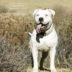 Sandy/American Bulldog/Female/Adult