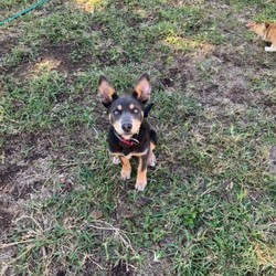 Australian Kelpie is available for sale- Dog the Love