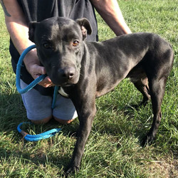Adopt a dog:Evergreen/American Staffordshire Terrier/Male/Adult,3yr old neutered male American Staffordshire mix, 43lbs. Heartworm negative. Sweet, tiny and very playful. Very energetic and loving. Micro chipped. Rides really well in the car.