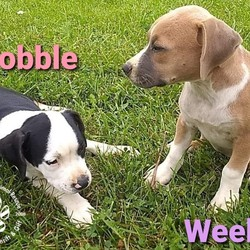 Adopt a dog:Weeble/Boxer/Female/Baby,AT PEPPERMINT PIG ANIMAL RESCUE, WE UPDATE ALL OF OUR PETS ON A REGULAR BASIS.   IF YOU SEE ME HERE, I AM AVAILABLE FOR ADOPTION. PLEASE READ MY BIO BELOW TO LEARN MORE ABOUT ME AND HOW TO APPLY TO ADOPT :)  Meet the W puppies:: 12 weeks old, 16 and 14 pounds, female Lab/Boxer/Mountain Cur type/mixes.  Available for Adoption!  These sweet little girls have had a rough start to life after previously living outside and eating sticks. They were infested with fleas and worms and weren't feeling well at all when we got them. We've since had them seen by our vet and treated for fleas and worms and they're feeling so much better now! They are both playful and snuggly and such little sweethearts. Weeble and Wobble are ready to find their forever homes who will show them what its like to be a loved member of a family! They will be big girls when they're grown!   $195 Adoption Fee.   A $10.00 non-refundable application fee is required to submit your adoption application and will be deducted from your adoption fee if you adopt.  All puppies are dewormed, started on heartworm and flea prevention, and microchipped.  All puppies will be adopted with current, age appropriate vaccines, given by Peppermint Pig Animal Rescue. Peppermint Pig Animal Rescue will provide their puppy series DAPP vaccines, given at 8, 12, and 16 weeks of age.  Puppy adopters will be will be required to bring the puppy back to Peppermint Pig Animal Rescue to receive any remaining puppy vaccines after adoption.   Puppy adopters will also be required to bring the puppy to our vet for their spay/neuter surgery after they receive their 16 week vaccination.   The spay/neuter and puppy vaccines are included with the puppy adoption fee.  Puppy adopters must be within a one hour radius of Peppermint Pig Animal Rescue. Please see our Adoption Radius tab on our website for more info, here: https://peppermintpiganimalrescue.org/adoption-radius/  Along with other criteria evaluated 