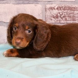 "Everitt/Dachshund/Male/,""Hi, my name is Everitt. I am so anxious to meet my new forever family. Could that be with you? I sure hope so. I am a gorgeous puppy with a personality to match. I am also up to date on my vaccinations and vet checked from head to tail, so when you see me I will be as healthy as can be. I will be the best friend you've dreamed of. I promise you won't regret it. I will love you, kiss you, and teach you to play so be sure to choose me today!"""