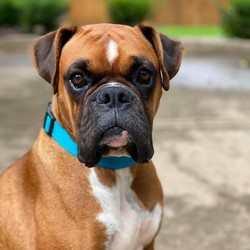 Adopt a dog:Rocky/Boxer/Male/Baby,Rocky rocks! Mr Balboa is the sweetest young man who just wants your love and all the cuddles you can spare. At 2.5 years young he is only 55 pounds - almost a pocket boxer! He was an owner surrender who we think was just using him for his services but now that weve taken care of that, updating his vaccines and working on a touch of kennel cough, he should be ready to go to his forever home. He is an active silly boxer boy who enjoys his walks but can be chill as well. Hes potty trained, comfortable in his crate, very good on a leash, and quickly learning all his commands. Hes used to living with another dog and is respectful of their space, but does like to butt in when hes not the center of attention. Rocky can be a little shy around strangers at first but quickly warms up and seems to do well with kids. He might be a bit much for very young kiddos as he isnt always aware of personal space - but hes not a jumper or a counter surfer. And did we mention how handsome he is?!? The pics speak for themselves.