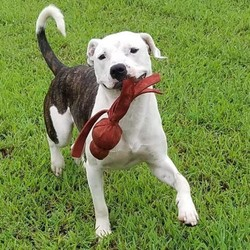 Adopt a dog:Me/Pit Bull Terrier/Male/Adult,Dash is a 3 year old, 48lb, brindle/white Bully Mix. He is located in Danville, VA and transport can be arranged to the right match. Dash is house and crate trained and a total lovebug to humans. Dash is looking for a home where he could be the one and only fur ball. He will require the following in order to adopt him. A fenced in yard. A family committed to continuing his training in obedience/social skills. No children under the age of 13 years. We will require a vet and home check before he is adopted. Our adoption fee for dogs in Virginia is $400.00 to cover the cost of having them transported here from Louisianan.  Hail Mary Rescue doesn't just have Southern Dogs. We have CAJUN Southern Dogs!! The most Smartest, Strong Hearted,