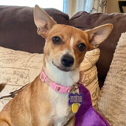 Adopt a dog:Clarisse!/Chihuahua/Female/Young,Clarisse is looking for a home with another active playful dog or parents who are home often and can provide her the activity she needs.  A house with a yard would be ideal, but she might do ok in the right apartment home as long as she gets the daily exercise she needs.  Clarisse (Clara) is an active, comical, sweet, little Chihuahua mix. She is about 2 years old and petite at 10 lbs. She is affectionate, very playful, talkative and spunky. She enjoys romping around the house and yard playing chase and tug with her dog buddies. She is quite active and likes to play in water, chase a ball or frisbee, play with her squeaky toys and chew on her chewy treats. She becomes attached to a favorite person and enjoys following her person around off and on throughout the day. She likes some snuggle time on the couch at night.   She enjoys walks and is learning to walk politely on a leash. She is crate trained and doing well with house training. Young children would likely overwhelm her so children under 12 are not recommended. She currently lives with dog savvy cats but will challenge shy kitties and chase if they run. She would do well in an active home with a young playful non dominant dog to romp around with and keep her company while her humans are away from home. She enjoys being a large part of her family's life and wants to be included in their daily activities. She would be a good hiking, jogging or paddle board partner. Clara is a fun loving, energetic, inquisitive little sweetheart who will keep you laughing with her silly antics. She is patiently waiting for her forever home.  Please email right away if you would like to learn more about this dog......and visit our website www.siarescuers.org to learn more about our rescue group.   Adoption fees range from $150-$350 for dogs.  THE DOGS SHOWN ON THE SITE ARE IN FOSTERCARE - WE DO NOT HAVE A SHELTER TO VISIT.  EMAIL is the best way to reach us.We are a volunteer run, very small organization - so please be patient when waiting for a response, but feel free to check back in if you haven't heard from us in a day or so - thank you so much for considering a rescued pooch!