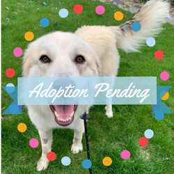 Adopt a dog:Bruno/Great Pyrenees/Male/Adult,Are you ready for your life to change in a BIG way? Big paws, big energy, big heart, that's what Bruno has to offer you. And that's how he lives his life — he plays big, relaxes big, and snuggles big. So, if you're ready for a dog that's a little...extra, please consider making Bruno a big part of your life.   Bruno is a young, 80-pound Great Pyrenees mix. And with youth comes energy. Bruno needs lots of fresh air and exercise to tire him out each day and is happy to get it through walks or romping around in the yard. A fenced-in yard will be a must for this guy, as well as a playful sibling doggo who can help him burn off some of that excitement for life. When he's a little wound up at night, a sure cure is a night walk just letting him sniff to his heart's content, then he'll settle right down for a great night's sleep.   Speaking of sleep, Bruno promises to be good and sleep all night as long as you don't crate him. He gets very stressed in his crate but is well behaved outside of it. This big buddy is totally housebroken, non-aggressive, and honestly a big napper in between his big bouts of energy. He loves to play with dogs and people alike. Your constant companion, Bruno will happily follow you around and cuddle you whenever you let him -- Bruno definitely doesn't see his bulk as a deterrent to lap snuggles.   If you're a dog lover with a BIG heart, please consider applying to be Bruno's forever home.   Interested in adopting this dog? Visit our website (http://www.SecondCityCanineRescue.org) to fill out an application and to find out where this dog may be shown this weekend.  We love our dogs. We want happy lives for all of them and are looking for the home that provides the best fit for each dog's individual needs. Please understand that there may be multiple families interested in this dog. Come to the show to find out if this dog is the right fit for you — it's helpful to bring all family members and current dogs.   Also, please know that the breed mix listed is simply a guess. In most cases, we don't know their background. We encourage you to base your decision on individual personality and pet qualities instead of relying on our guess.  Please understand, we only adopt our animals out near the Chicagoland area. Questions? Email us at adoptions@sccrescue.org. Hope to see you become part of the SCCR family!