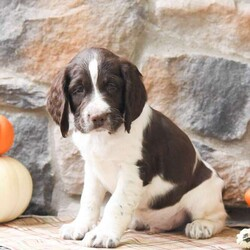 Trent/Male /Male /English Springer Spaniel Puppy