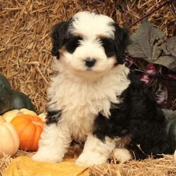 Petey/Male /Male /Mini Bernedoodle Puppy