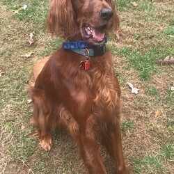 Adopt a dog:Mollie Setter/Irish Setter/Female/Adult,Mollie is with her owners who need help finding her a new home. We will help screen any potential adopters with out adoption process and help the owners find the best home possible.   We have a beautiful full blooded female Irish setter we need to find a new home for. She is 6 years old. My husband is 73 and I am 68 and we can no longer give Mollie the walks and play she needs. She is a very sweet, affectionate dog but is becoming more and more anxious. She is a big girl for a setter at 62 lbs but very good with other dogs and children. She does not ride well in a car though we have tried!! She whines and paces. Fine at home as a rule. She needs a bordatella but otherwise is up to date on vaccines. We have records. She has been on heartworm protection her whole life. She is spayed.