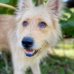 Angel/Portuguese Podengo/Male/Young
