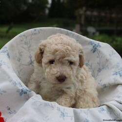 Louie/Male /Male /Toy Poodle Puppy,Louie is an adorable Toy Poodle puppy that is great with children and family raised! This happy pup is vet checked and up to date on shots and wormer. Louie can be registered with the ACA and comes with a 2-year genetic health guarantee provided by the breeder. To find out more about Louie, please contact Matthew today!