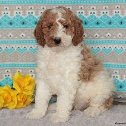 Joey – Moyen/Male /Male /Standard Poodle Puppy,Meet Joey, a playful Moyen Poodle puppy who is being family raised with children and is well socialized. This curious pup is vet checked, up to date on shots and wormer plus the breeder provides a health guarantee for Joey. To learn more about Joey, call the breeder today!
