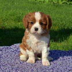 Ranger/Male /Male /Cavalier King Charles Spaniel Puppy