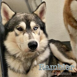 Adopt a dog:Rambler/Siberian Husky/Male/Adult,Rambler is about 3 years old and just recently joined the TXHR Family!  He is settling in great at his Foster Home.  We don't know a lot about his personality but we do know Rambler is dog friendly and about as handsome as they get.  Unfortunately he is HW+ so will need to go through treatment before he will be available for adoption.  So please stay tuned for updates and availability on this Ramblin' Man...don't stand to close to the flame, your heart will never beat the same.