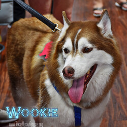 Adopt a dog:Wookie/Siberian Husky/Male/Adult,Wookie is a big, quiet senior red who is very soulful, and likes human company more than being a part of the pack. He prefers to hang by himself and loves to be around his special people. Wookie has a strong voice that sounds bigger than he is. Although he will occasionally play a little with other dogs at his Foster Home, he is generally a little picky about most dogs and does not like to share. He is not cat friendly and isn't really a fan of smaller dogs. Wookie isn't high on energy but will play with a tennis ball and LOVES stuffed animals to tear apart and carry around - Wookie also loves to watch TV and hang with the family for quiet snuggling on the couch or spend time hanging outside on a patio. Wookie loves car rides but will need help if he needs to jump up into a higher vehicle.  Originally it was reported that Wookie was deaf, this is unlikely, we think he just had a strong case of husky selective hearing!