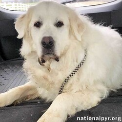 me/Great Pyrenees/Male/Adult